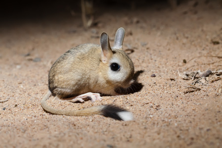 Portrait of Small five-toed jerboa (Allactaga elater) in desert of southern Kazakhstan