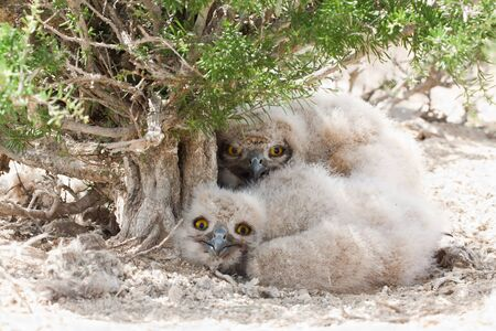 Eagle owl chicks (Bubo bubo) lying in the nest under glasswort bush (Salsola arbuscula) in desert area of southern Kazakhstan