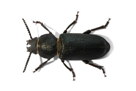Capricorn beetle (Spondylis buprestoides) isolated on white background , Belarus Reklamní fotografie