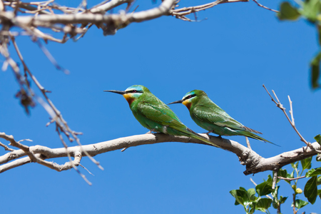 A pair of green bee-eaters (Merops supercilus) on a mulberry tree, Uzbekistan