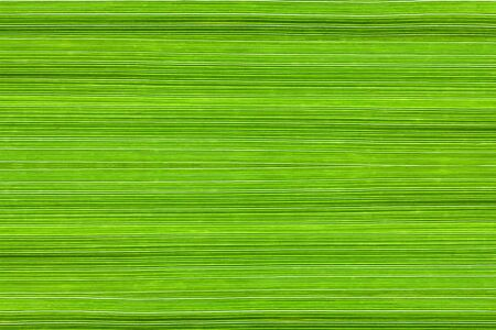 Background of manna grass (Glyceria) leaves