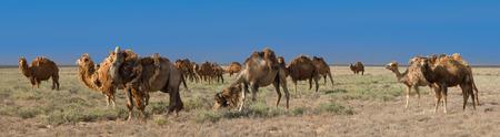 Bactrian camels (Camelus bactrianus) in Betpak Dala desrt, Khazakhstan