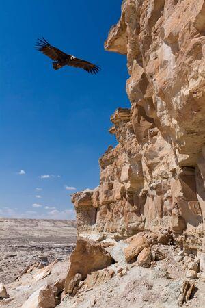 Eurasian black vulture (Aegypius monachus) in desert area near Caspian Sea, Kazakhstan Stock Photo