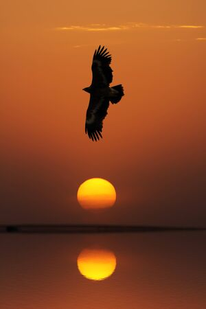 Steppe Eagle (Aquila nipalensis) flying against evening sky, Uzbekistan Stock Photo
