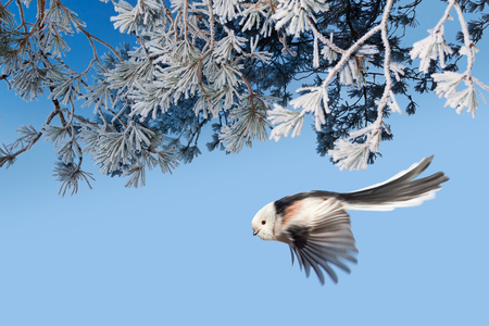Long-tailed tit (Aegithalos caudatus) flying down from pine branches covered with hoarfrost in winter forest, Northern Belarus