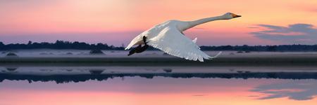 Whooper Swan (Cygnus cygnus) flying over a river at sunset, Northern Belarus Reklamní fotografie