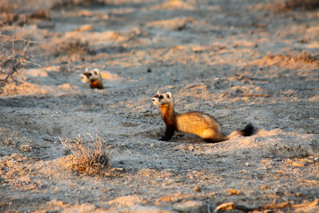 Steppe weasels or Masked polecats (Mustela eversmanii) hunting in natural habitat of Kyzyl Kum desert in the evening, Uzbekistan