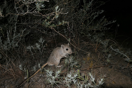 Male of Midday Jird (Meriones meridianus) searching for a food after rain during nighttime in natural habitat of desert, Southern Kazakhstan