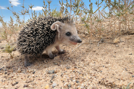 Juvenile of Long-eared hedgehogs (Hemiechinus auritus) during summer in desert of southern Kazakhstan, daytime shooting
