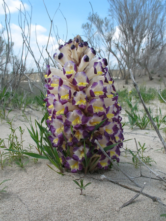 Flower of Cistanche (Cistanche salsa) in natural habitat of Muyunkum Desert, Southern Kazakhstan. Cistanche is a parasitic plant that connects to the conductive system of a host, extracting water and nutrients from the roots of the host plant.