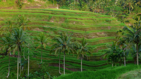 coconut tree and rice paddy terrace field photo