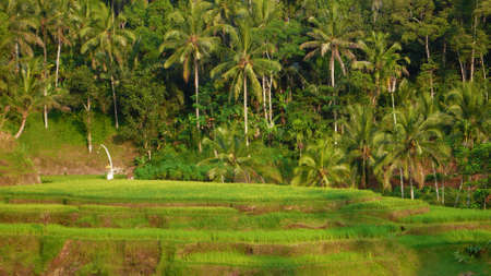 the rice paddy terrace field on ubud photo
