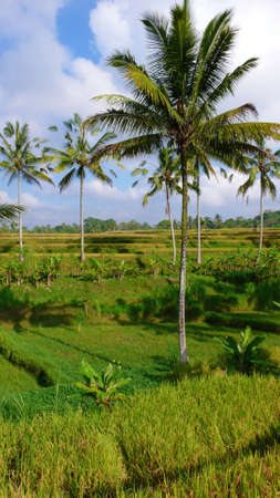 coconut tree and rice paddy field on ubud photo