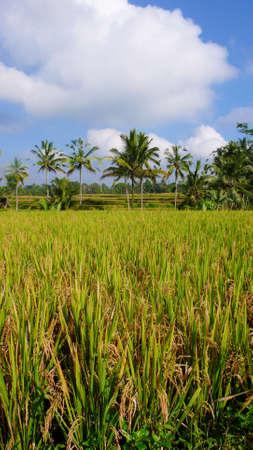 rice paddy field and coconut tree on ubud photo