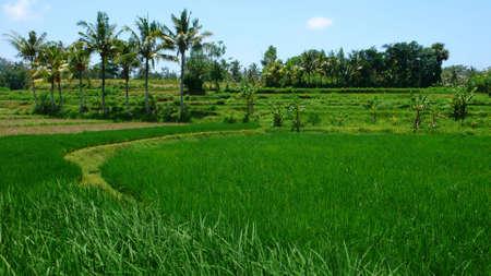 rice paddy field and coconut tree on blahbatuh photo