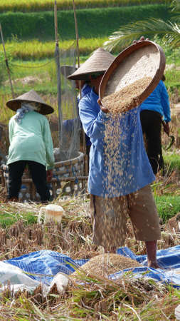 winnowing: farmer sifted the paddy using winnowing tray