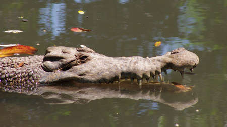the small species of crocodile, new guinea crocodile Stock Photo - 9856426