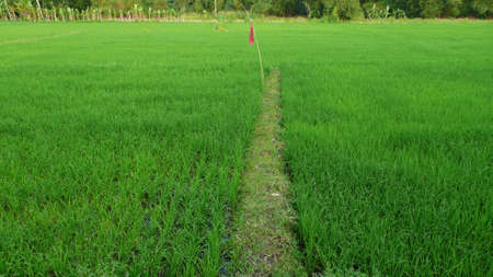 red flag at the little walkway of paddy field photo