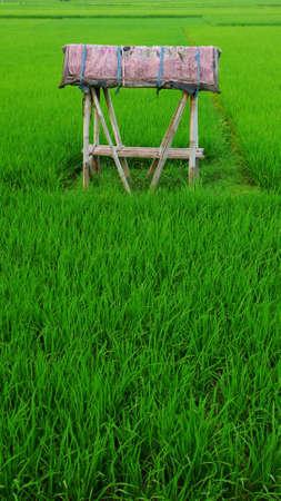 the small hut at rice paddy field photo