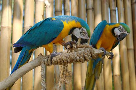 ararauna: guacamayo azul y amarillo, o Ara ararauna
