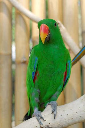 eclectus roratus: male eclectus parrot or eclectus roratus