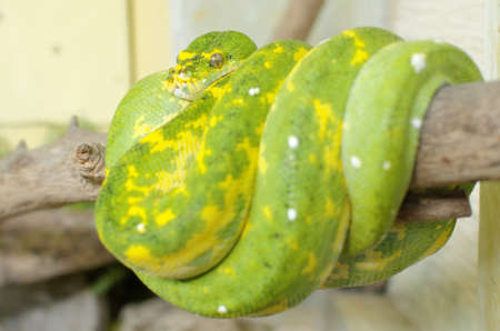 green tree python or morelia viridis photo