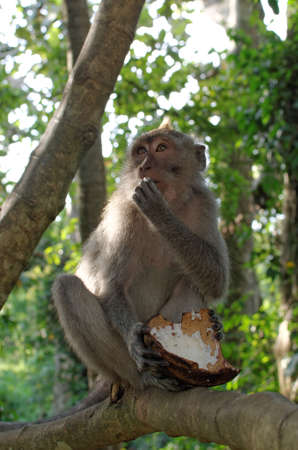crab-eating macaque eating coconut photo