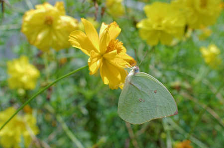 sulphur: sulphur butterfly on garden cosmos
