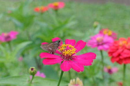 skipper: skipper butterfly on zinnia flower