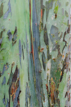 Rinde Textur von Eukalyptusbaum