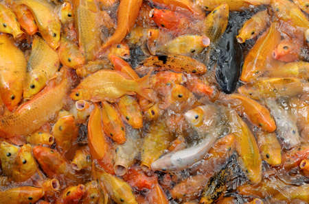 frenzy: common carps feeding frenzy in pond Stock Photo