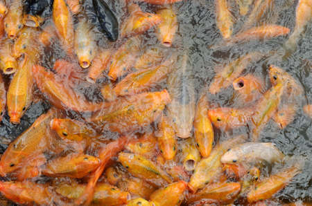 feeding frenzy: common carps feeding frenzy in pond Stock Photo