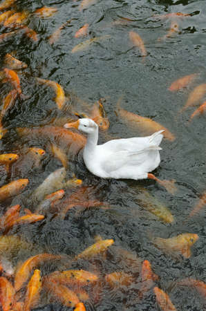 a swan and common carps in pond Stock Photo