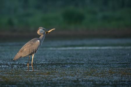 herons: Grey Herons Breakfast Stock Photo