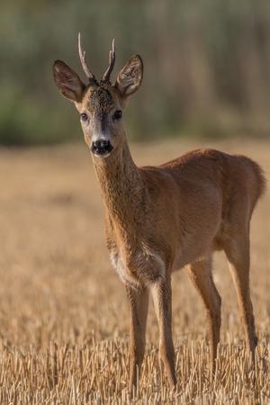 capreolus: roe deer