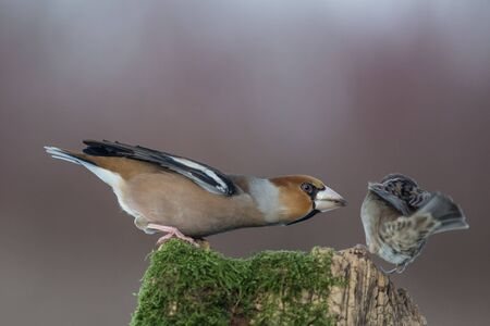 attacking: hawfinch attacking sparrow