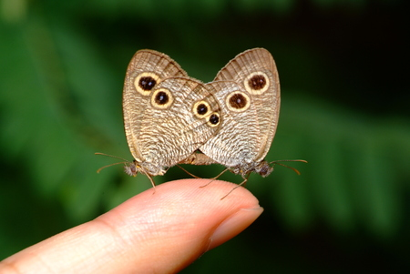 finger bow: butterfly