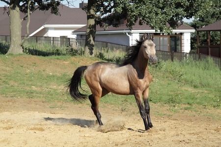 trakehner: Young beautiful  trakehner stallion stopping Stock Photo