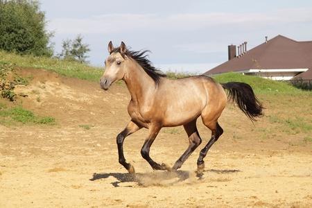 dun: Young trakehner stallion runs gallop  Stock Photo
