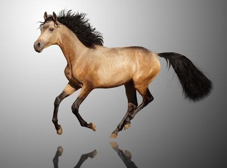 dun: Young trakehner stallion run gallop. Stock Photo