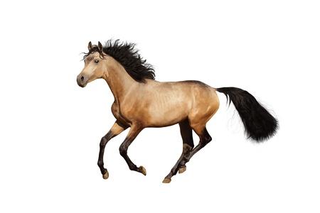 trakehner: Young trakehner stallion run gallop. Isolated on white. Stock Photo