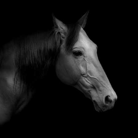 """cabeza de caballo: Hermosa rusa pata llamado Rur - ganador del premio de la San Petersburgo Internacional del Caballo de Exposiciones """"Ipposphere"""" Foto de archivo"""