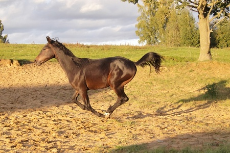 trakehner: Young trakehner stallion runs gallop