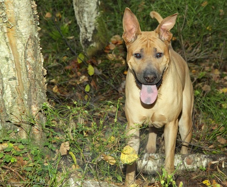 metis: Red dog (metis of Shar-Pei) in the autumn forest Stock Photo
