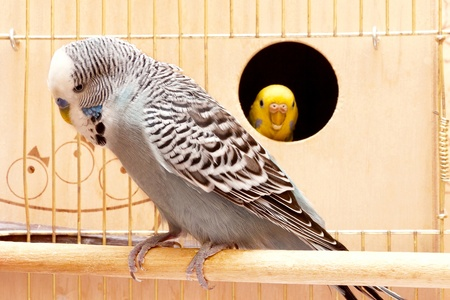 Two budgies sitting in cage
