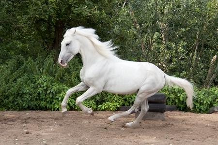 gallop: Beautiful Orlov trotter named  Stock Photo