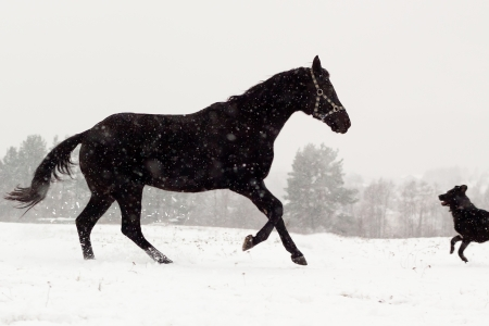 horse in snow: Dog and horse run towards each other