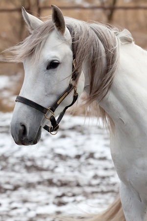 Beautiful Tersk stallion, prize-winner of the Endurance horse race  photo
