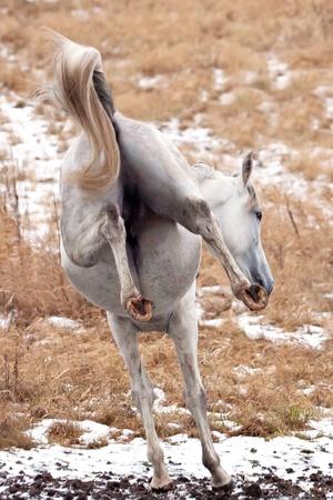 hooves: Jumping horse (Tersk stallion)