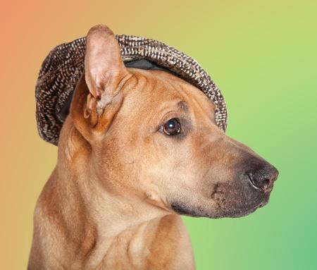 kepi: Dog in kepi - portrait over colored background